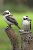 laughing-kookaburra-picture;laughing-kookaburra;kookaburra;kookaburras;laughing-kookaburra-pair;two-kookaburras;dacelo-novaeguineae;grampians-national-park;victoria;steven-david-miller;australian-kookaburra;australian-icon;iconic-australian-bird;natural-wanders