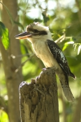laughing-kookaburra-picture;laughing-kookaburra;kookaburra;kookaburra-in-tree;kookaburra-on-branch;kookaburra-portrait;australian-icon;iconic-australian-bird;australian-kookaburra;jowalbinna;jowalbinna-rock-art-camp;cape-york;queensland;steven-david-miller;natural-wanders