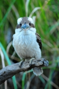 iconic-bird;iconic-australian-bird;australian-national-park;eye-contact
