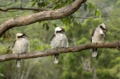 laughing-kookaburra-picture;laughing-kookaburra;kookaburra;kookaburra-in-tree;kookaburra-on-branch;kookaburra-portrait;australian-icon;iconic-australian-bird;australian-kookaburra-three-kookaburras;kookaburra-trio;group-of-kookaburras;family-of-kookaburras;kookaburra-family;lane-cove-national-park;new-south-wales;steven-david-miller;natural-wanders