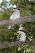 laughing-kookaburra-picture;laughing-kookaburra;kookaburra;kookaburra-in-tree;kookaburra-on-branch;kookaburra-portrait;australian-icon;iconic-australian-bird;australian-kookaburra-two-kookaburras;kookaburra-pair;kookaburra-family;lane-cove-national-park;new-south-wales;steven-david-miller;natural-wanders