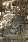 superb-lyrebird-picture;superb-lyrebird;lyrebird;australian-lyrebird;male-lyrebird;bird-in-forest-undergrowth;victorian-bird;healesville;healesville-sanctuary;victoria;steven-david-miller;natural-wanders