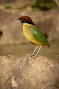 Noisy Pitta Bird