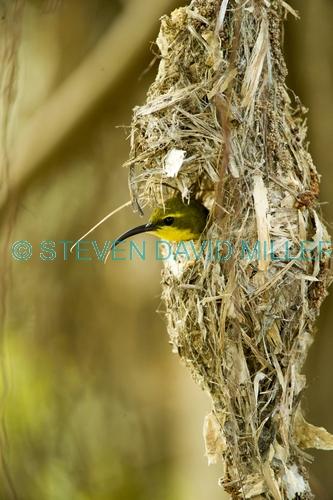 sunbird;olive backed sunbird;nectarinia jugularis;sunbird at nest;sunbird on nest;hillsborough national park;australian sunbird