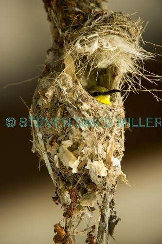 sunbird;olive backed sunbird;nectarinia jugularis;sunbird at nest;sunbird on nest;campe hillsborough national park;australian sunbird