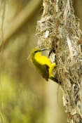 sunbird;olive-backed-sunbird;nectarinia-jugularis;sunbird-at-nest;sunbird-on-nest;campe-hillsborough