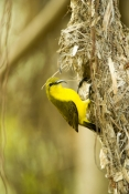 sunbird;olive-backed-sunbird;nectarinia-jugularis;sunbird-at-nest;sunbird-on-nest;hillsborough-natio