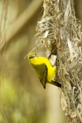sunbird;olive-backed-sunbird;nectarinia-jugularis;sunbird-at-nest;sunbird-on-nest;hillsborough-national-park;australian-sunbird