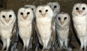 barn-owl-picture;barn-owl;owl;australian-owl;white-owl;tyto-alba;flock-of-owls;barn-owls;owls;group-of-owls;parliament-of-owls;caversham-wildlife-park;perth;western-australia;steven-david-miller;natural-wanders