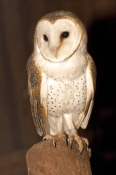barn-owl-picture;barn-owl;owl;australian-owl;white-owl;tyto-alba;northern-territory-wildlife-park;northern-territory;banded-bird;banded-animals;steven-david-miller;natural-wanders;heart-shaped-face;heart-shape;heart-face;heart-shaped-face