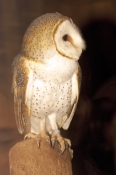 barn-owl-picture;barn-owl;owl;australian-owl;white-owl;tyto-alba;northern-territory-wildlife-park;northern-territory;banded-bird;banded-animals;steven-david-miller;natural-wanders