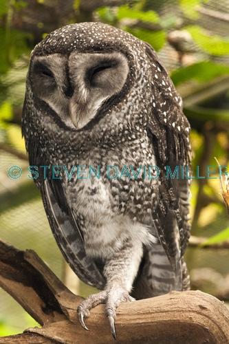 lesser sooty owl picture;lesser sooty owl;tyto multipunctata;australian owls;australian barn owls;rainforest owl;rainforest barn owl;queensland owl;owl sleeping;bird sleeping;sleeping;sleep;asleep;wildlife dome;cairns wildlife dome;cairns;north queensland;rainforest bird;steven david miller