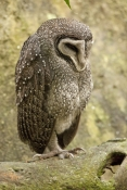 lesser-sooty-owl-picture;lesser-sooty-owl;tyto-multipunctata;australian-owls;australian-barn-owls;rainforest-owl;rainforest-barn-owl;queensland-owl;wildlife-dome;cairns-wildlife-dome;cairns;north-queensland;rainforest-bird;owl-sleeping;animal-sleeping;steven-david-miller
