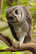 lesser-sooty-owl-picture;lesser-sooty-owl;tyto-multipunctata;australian-owls;australian-barn-owls;rainforest-owl;rainforest-barn-owl;queensland-owl;wildlife-dome;cairns-wildlife-dome;cairns;north-queensland;rainforest-bird;eye-contact;bird-eye-contact;look-of-curiosity;curiosity;steven-david-miller
