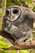 lesser-sooty-owl-picture;lesser-sooty-owl;tyto-multipunctata;australian-owls;australian-barn-owls;rainforest-owl;rainforest-barn-owl;queensland-owl;wildlife-dome;cairns-wildlife-dome;cairns;north-queensland;rainforest-bird;steven-david-miller