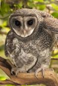 lesser-sooty-owl-picture;lesser-sooty-owl;tyto-multipunctata;australian-owls;australian-barn-owls;rainforest-owl;rainforest-barn-owl;queensland-owl;wildlife-dome;cairns-wildlife-dome;cairns;north-queensland;rainforest-bird;eye-contact;bird-eye-contact;look-of-curiosity;curiosity;steven-david-miller