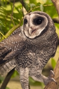 lesser-sooty-owl-picture;lesser-sooty-owl;tyto-multipunctata;australian-owls;australian-barn-owls;rainforest-owl;rainforest-barn-owl;queensland-owl;wildlife-dome;cairns-wildlife-dome;cairns;north-queensland;rainforest-bird;steven-david-miller