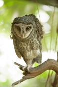 lesser-sooty-owl-picture;lesser-sooty-owl;tyto-multipunctata;australian-owls;australian-barn-owls;rainforest-owl;rainforest-barn-owl;queensland-owl;wildlife-habitat;north-queensland;rainforest-bird;eye-contact;bird-eye-contact