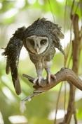lesser-sooty-owl-picture;lesser-sooty-owl;tyto-multipunctata;australian-owls;australian-barn-owls;rainforest-owl;rainforest-barn-owl;queensland-owl;wildlife-habitat;north-queensland;rainforest-bird;eye-contact;bird-eye-contact