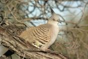 Geophaps-lophotes;australian-pigeons