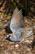 flock-bronzewing-picture;flock-bronzewing;flock-bronzewing-pigeon;bronzewing;australian-bronzewing;bird-stretching-out-wing;bird-with-outstretched-wing;the-australia-zoo;australia-zoo;beerwah;queensland;steven-david-miller;natural-wanders