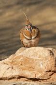 injured-bird;bird-with-one-eye;spinifex-pigeon;geophaps-plumifera;plumed-pigeion;alice-springs-deser
