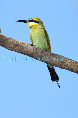 rainbow bee-eater picture;rainbow bee-eater;rainbow bee eater;rainbow beeeater;australian bee-eater;bee-eater;merops ornatus;standleys chasm;west macdonnell ranges;alice springs;northern territory;steven david miller;natural wanders