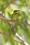 rainbow-bee-eater-picture;rainbow-bee-eater;rainbow-bee-eater;rainbow-beeeater;australian-bee-eater;bee-eater;merops-ornatus;katherine;lower-level-park;northern-territory;steven-david-miller;natural-wanders