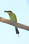 rainbow-bee-eater-picture;rainbow-bee-eater;rainbow-bee-eater;rainbow-beeeater;bee-eater;rainbow-bee-eater-with-bee;rainbow-bee-eater-eating-bee;australian-bee-eater;merops-ornatus;standleys-chasm;west-macdonnell-ranges;northern-territory;steven-david-miller;natural-wanders