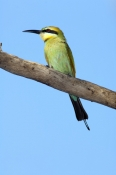 rainbow-bee-eater-picture;rainbow-bee-eater;rainbow-bee-eater;rainbow-beeeater;australian-bee-eater;bee-eater;merops-ornatus;standleys-chasm;west-macdonnell-ranges;alice-springs;northern-territory;steven-david-miller;natural-wanders