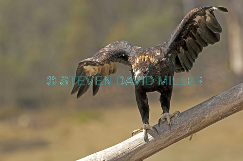 wedge-tailed eagle picture;wedge tailed eagle;eagle;australian eagle;tasmanian eagle;wedge-tailed eagle;tasmanian wedge-tailed eagle;aquila audax;aquila audax fleayi;devils heaven wildlife park;tasmania;steven david miller;natural wanders