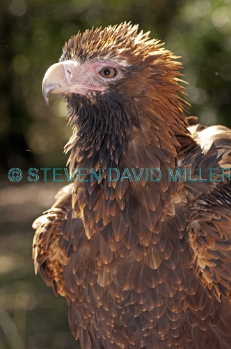 wedge-tailed eagle picture;wedge tailed eagle;wedgetailed eage;wedge-tailed eagle;australian eagle;eagle;aquila audax;northern territory wildlife park;territory wildlife park;eagle close up;eagle portrait;darwin;steven david miller;natural wanders;intensity;intense;serious