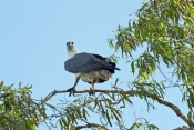 white-bellied-sea-eagle-picture;white-bellied-sea-eagle;white-bellied-sea-eagle;sea-eagle;australian-eagle;haliaeetus-leucogaster;white-bellied-sea-eagle-in-tree;corroboree-billabong;wetland;wetland-scenery;mary-river;mary-river-wetland;northern-territory;australia;steven-david-miller