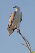 white-bellied-sea-eagle-picture;white-bellied-sea-eagle;white-bellied-sea-eagle;sea-eagle;eagle;australian-eagle;haliaeetus-leucogaster;kakadu-birds;south-alligator-river;kakadu-national-park;northern-territory;australian-national-parks;steven-david-miller;natural-wanders