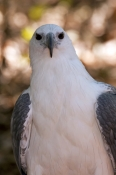 white-bellied-sea-eagle-picture;white-bellied-sea-eagle;white-bellied-sea-eagle;sea-eagle;eagle;australian-eagle;haliaeetus-leucogaster;northern-territory-wildlife-park;territory-wildlife-park;darwin;eagle;australian-eagle;northern-territory;steven-david-miller;natural-wanders