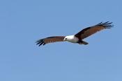 brahminy-kite;kite;australian-kite;haliastur-indus;red-backed-sea-eage;sea-eagle;australian-sea-eagle