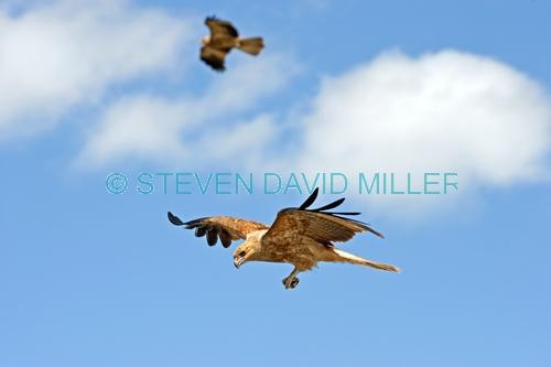 whistling kite picture;whistling kite;kite;haliastur sphenurus;milvus sphenurus;australian kite;australian bird of prey;australian raptor;kite flying;kite in flight;raptor flying;raptor in flight;bird of prey with food;bird in flight;corroboree billabong;wetland;wetland scenery;mary river;mary river wetland;northern territory;australia;steven david miller;natural wanders