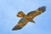 whistling-kite-picture;whistling-kite;kite;haliastur-sphenurus;milvus-sphenurus;australian-kite;australian-bird-of-prey;australian-raptor;kite-flying;kite-in-flight;raptor-flying;raptor-in-flight;bird-of-prey-in-flight;bird-in-flight;bird-flying;corroboree-billabong;wetland;wetland-scenery;mary-river;mary-river-wetland;northern-territory;australia;steven-david-miller;natural-wanders