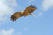whistling-kite-picture;whistling-kite;kite;haliastur-sphenurus;milvus-sphenurus;australian-kite;australian-bird-of-prey;australian-raptor;kite-flying;kite-in-flight;raptor-flying;raptor-in-flight;bird-of-prey-in-flight;bird-in-flight;bird-flying;corroboree-billabong;wetland;wetland-scenery;mary-river;mary-river-wetland;northern-territory;australia;steven-david-miller