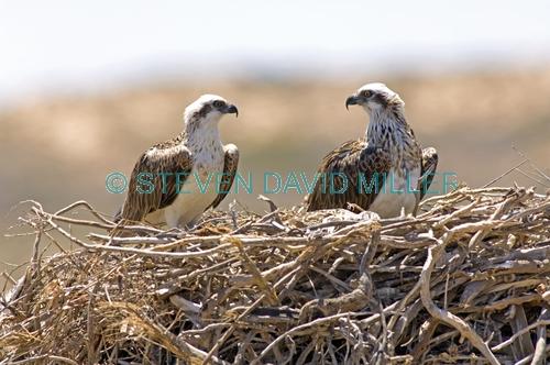 osprey picture;osprey;pandion haliaetus;osprey on nest;osprey nesting pair;quobba;point quobba;quobba blowholes;western australia;steven david miller;natural wanders;australian osprey;nesting birds;birds on nest