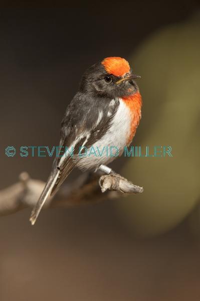 banded bird;red capped robin;australian robin;petroica goodenovii;small bird;alice springs desert park