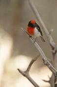 red-capped-robin;australian-robin;petroica-goodenovii;small-bird;alice-springs-desert-park