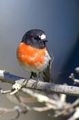 scarlet-robin-picture;scarlet-robin;robin;australian-robin;petroica-boodang;red-bird;small-robin;bruny-island;tasmania;tasmanian-birds;steven-david-miller;natural-wanders