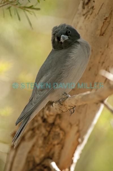 injured bird;bird with one eye;injured bird;bird with one eye;black faced cuckoo shrike;coracina novaehollandiae;alice springs desert park