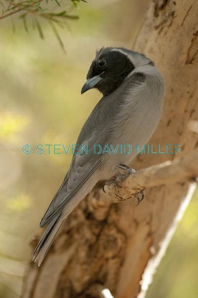 injured bird;bird with one eye;black faced cuckoo shrike;coracina novaehollandiae;alice springs desert park
