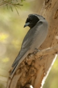 injured-bird;bird-with-one-eye;black-faced-cuckoo-shrike;coracina-novaehollandiae;alice-springs-desert-park
