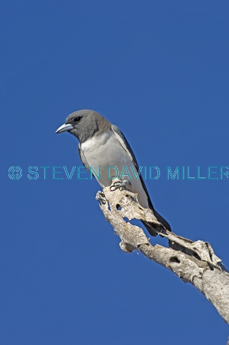 white-breasted woodswallow picture;white-breasted woodswallow;white breasted woodswallow;australian woodswallow;woodswallow;artamus leucorynchus;lake argyle;kununurra;western australia;steven david miller;natural wanders