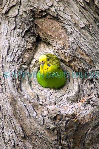 budgerigar picture;budgerigar;budgie;melopsittacus undulatus;small cockatoo;parakeet;australian parrot;cooper creek;innamincka;innamincka regional reserve;strzelecki track;south australian reserve;south australia;steven david miller;natural wanders