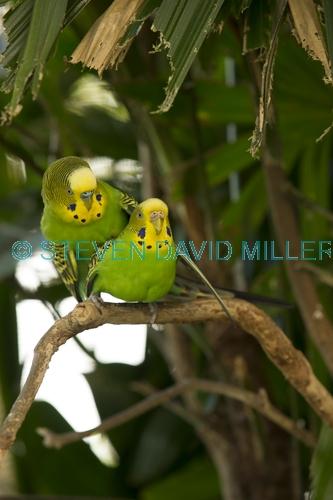 budgerigar picture;budgerigar;budgie;melopsittacus undulatus;small cockatoo;parakeet;australian parrot;birds mating;parrots mating;budgerigars mating