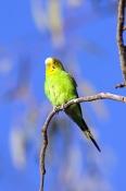 budgerigar-picture;budgerigar;budgie;melopsittacus-undulatus;small-cockatoo;parakeet;australian-parrot;cooper-creek;innamincka;innamincka-regional-reserve;strzelecki-track;south-australian-reserve;south-australia;steven-david-miller;natural-wanders